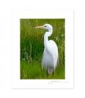 White Heron, Kotuku: 6x8 Matted Print
