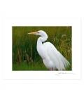 Kotuku, the White Heron: 6x8 Matted Print