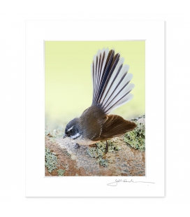 New Zealand Fantail: 6x8 Matted Print