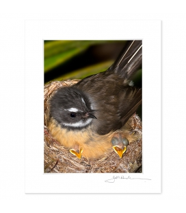 Fantail with Chicks: 6x8 Matted Print
