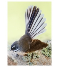 New Zealand Fantail: Card