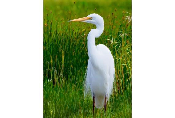 White Heron Kotuku