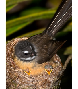 Fantail with Chicks