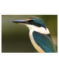 Sacred Kingfisher: Card