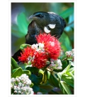 Tui in Summer Pohutukawa: Card