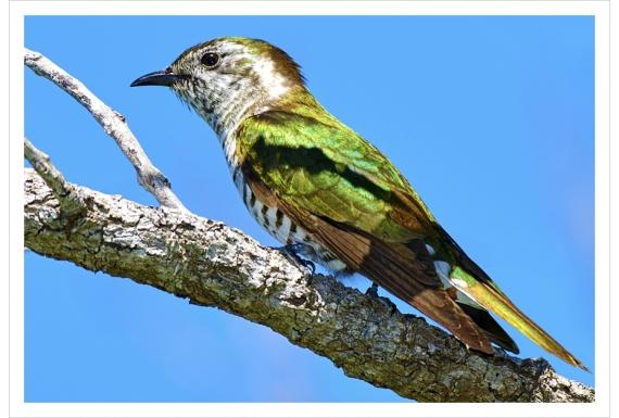 Shining Cuckoo, Pipiwharauroa: Card