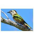 Pipiwharauroa, Shining Cuckoo: Card