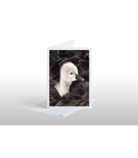 Cygnet riding on its Mother's back: Card